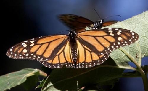 farfalla per marrone caldo.jpg